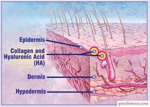 Hyaluronic (HA) tạo lớp màng bảo vệ da vững chắc, cung cấp ẩm cho da